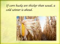 If corn husks are thicker than usual, a cold winter is ahead.