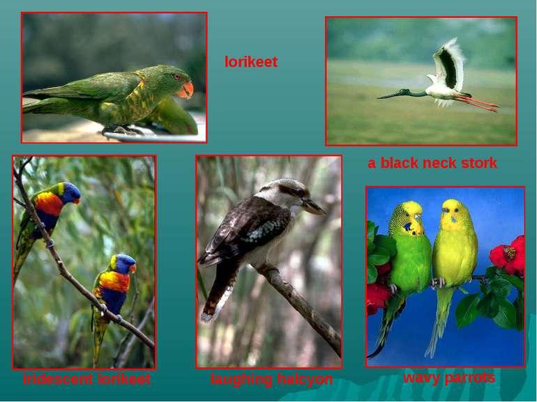 lorikeet a black neck stork iridescent lorikeet laughing halcyon wavy parrots