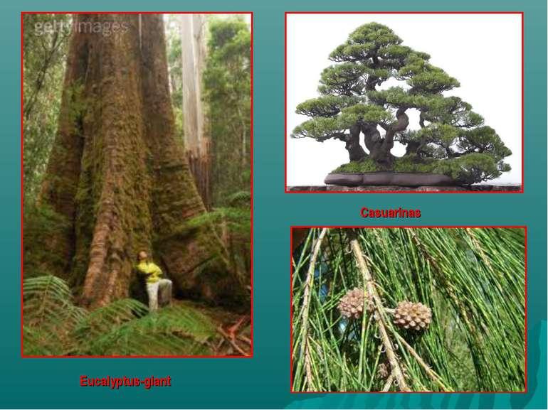 Eucalyptus-giant Casuarinas