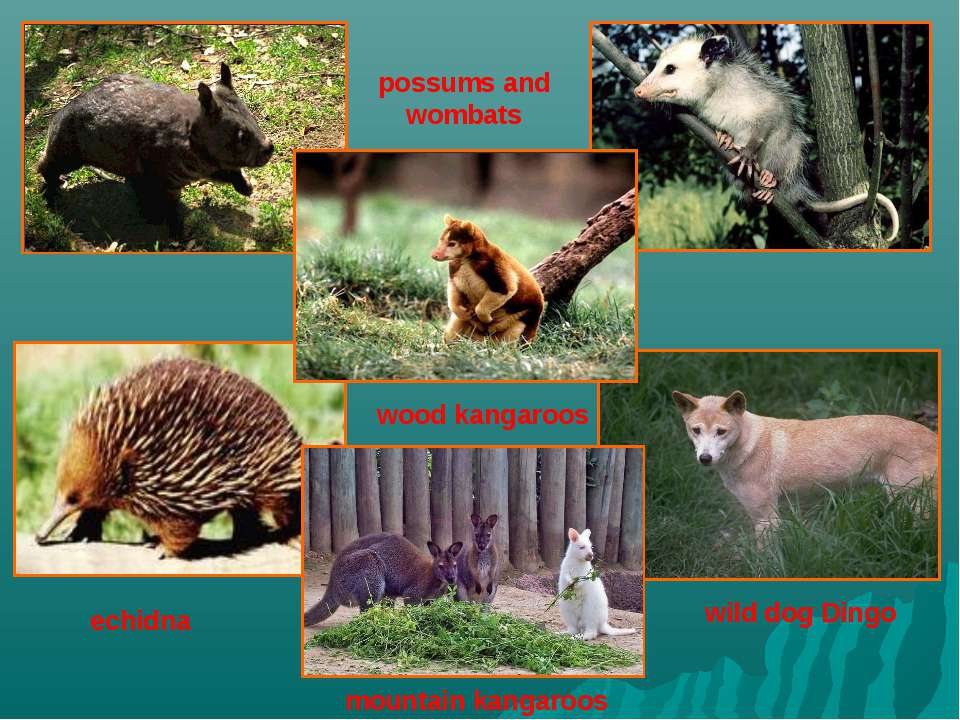 possums and wombats wood kangaroos mountain kangaroos wild dog Dingo echidna