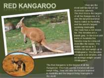 The Red Kangaroo is the largest of all the Kangaroos. The male can be 2 metre...