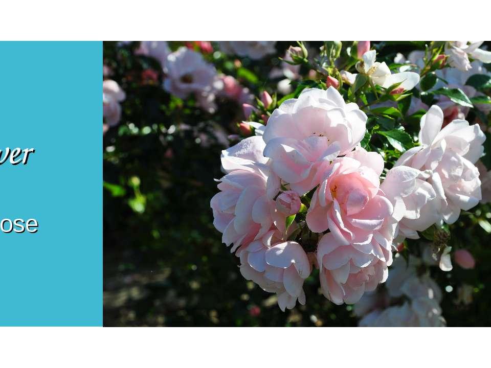 Flower Wild rose