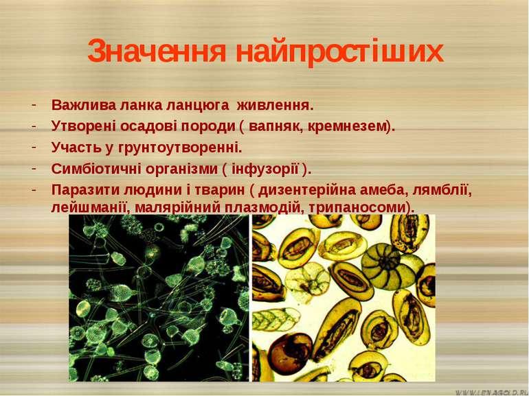 Значення найпростіших Важлива ланка ланцюга живлення. Утворені осадові породи...