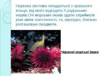 Нервова система складається з орального кільця, від якого відходять 5 радіаль...