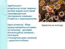 Здебільшого роздільностатеві тварини, деяким видам властивий гермафродитизм. ...