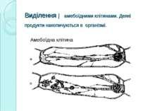 Виділення ─ амебоїдними клітинами. Деякі продукти накопичуються в організмі. ...
