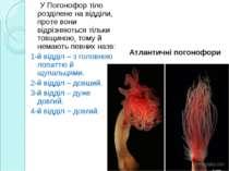 . У Погонофор тіло розділене на відділи, проте вони відрізняються тільки товщ...