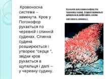 . Кровоносна система – замкнута. Кров у Погонофор рухається по черевній і спи...