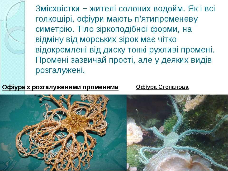 Змієхвістки − жителі солоних водойм. Як і всі голкошірі, офіури мають п'ятипр...