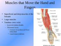 Muscles that Move the Hand and Fingers Superficial and deep muscles of the fo...
