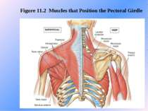 Figure 11.2 Muscles that Position the Pectoral Girdle