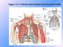 Figure 11.3 Muscles that Position the Pectoral Girdle