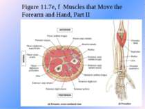 Figure 11.7e, f Muscles that Move the Forearm and Hand, Part II