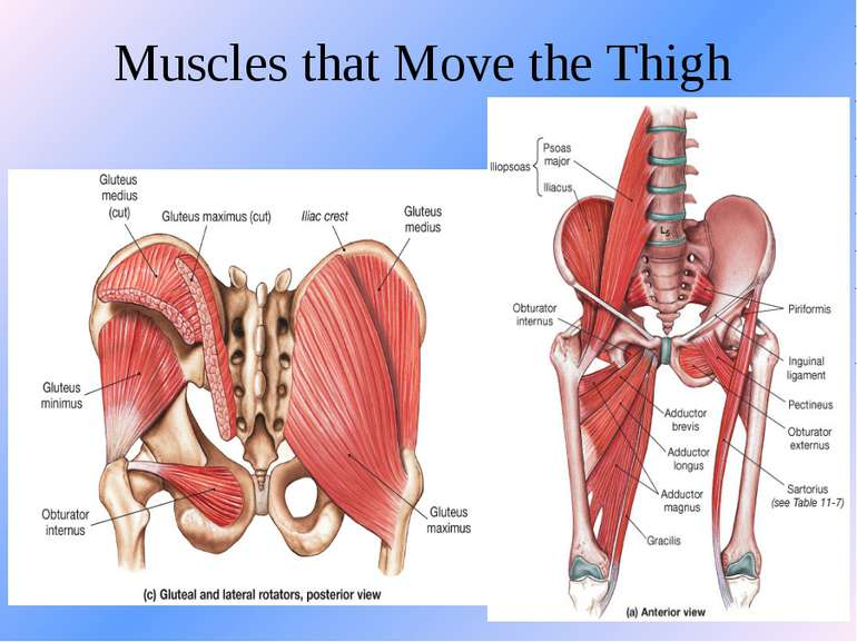 Muscles that Move the Thigh