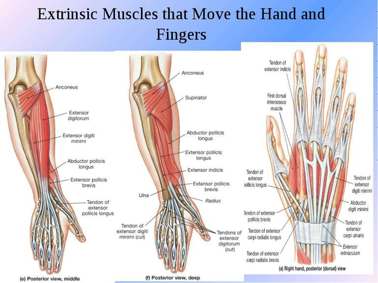 Extrinsic Muscles that Move the Hand and Fingers