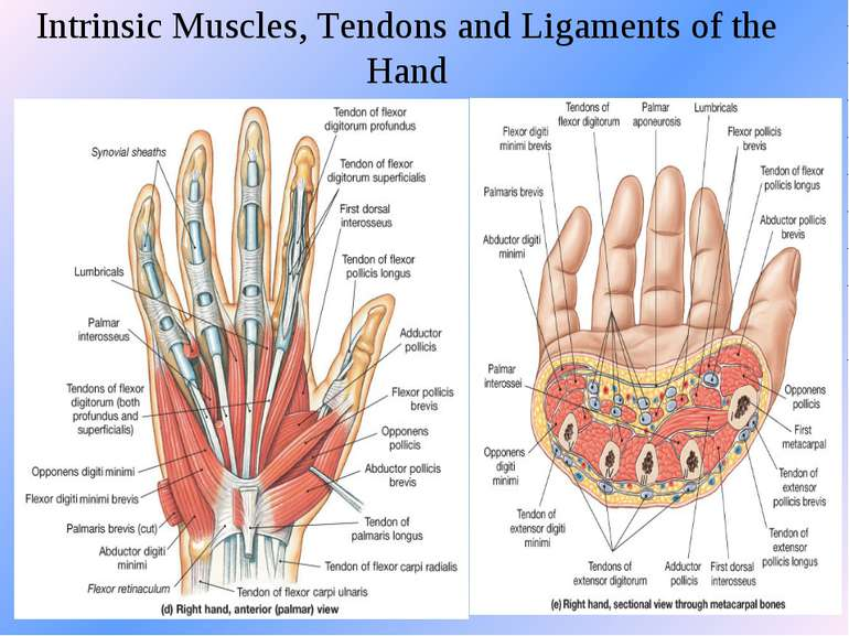 Intrinsic Muscles, Tendons and Ligaments of the Hand
