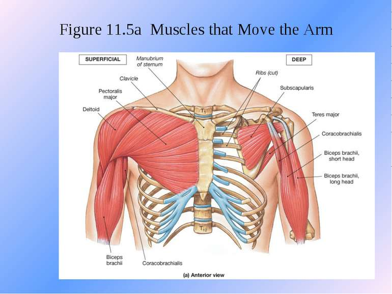 Figure 11.5a Muscles that Move the Arm