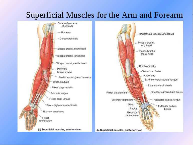 Superficial Muscles for the Arm and Forearm