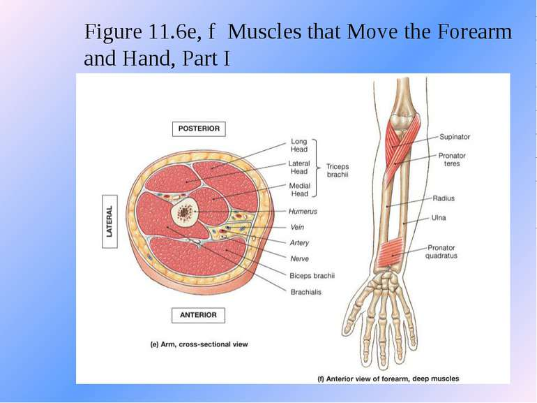 Figure 11.6e, f Muscles that Move the Forearm and Hand, Part I