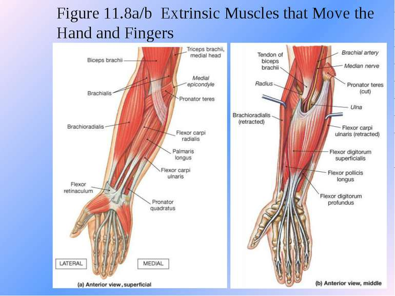 Figure 11.8a/b Extrinsic Muscles that Move the Hand and Fingers