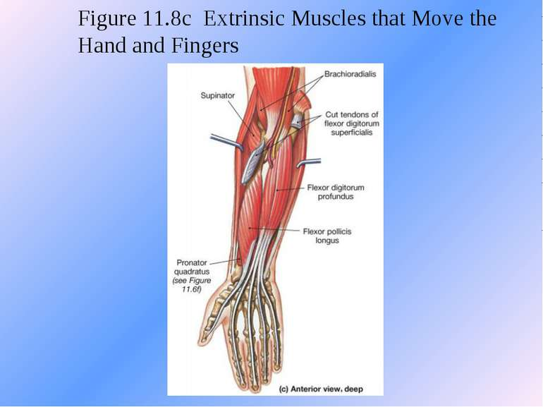 Figure 11.8c Extrinsic Muscles that Move the Hand and Fingers