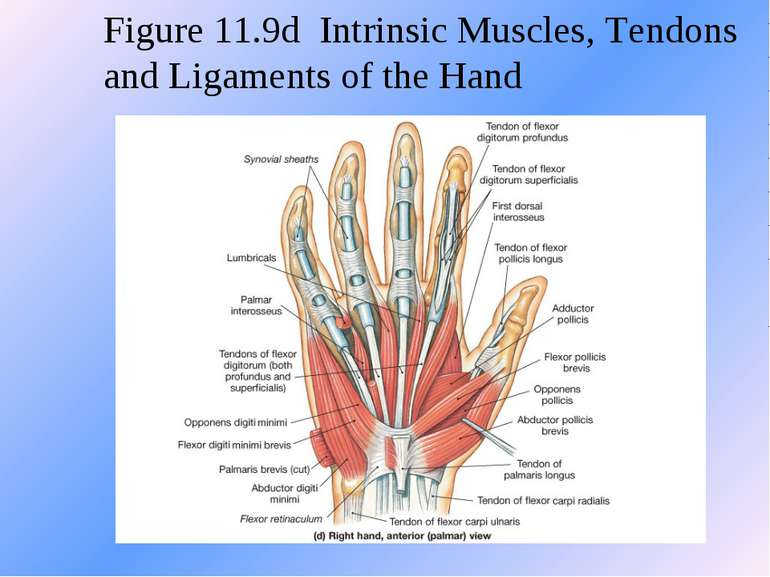 Figure 11.9d Intrinsic Muscles, Tendons and Ligaments of the Hand