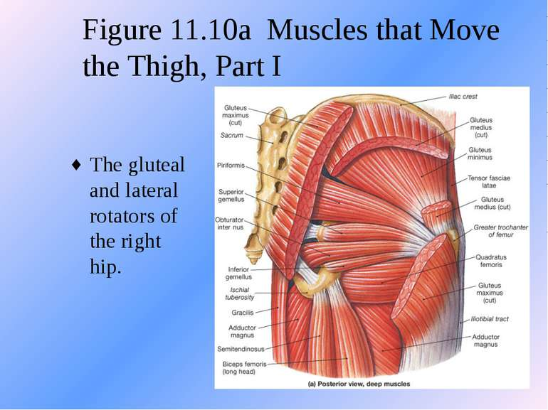 Figure 11.10a Muscles that Move the Thigh, Part I The gluteal and lateral rot...