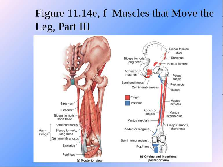 Figure 11.14e, f Muscles that Move the Leg, Part III