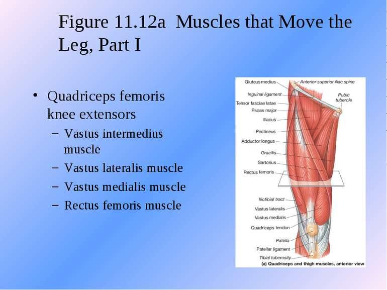 Quadriceps femoris knee extensors Vastus intermedius muscle Vastus lateralis ...