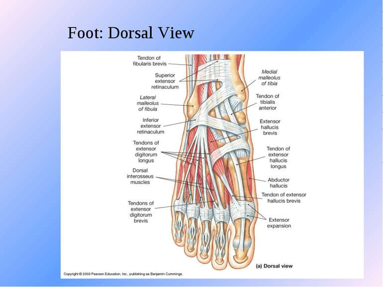 Foot: Dorsal View