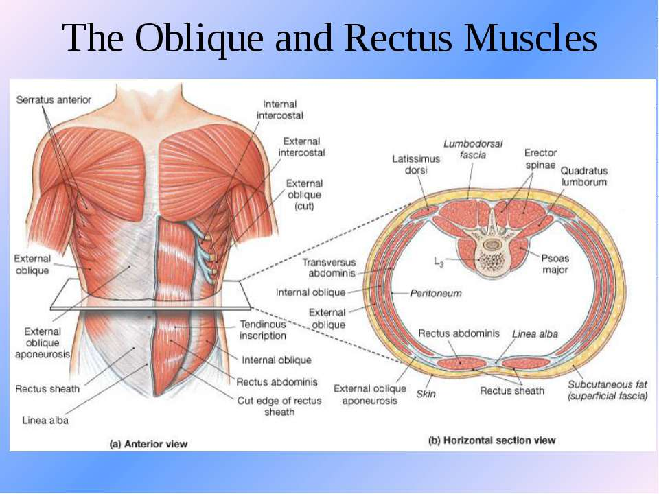 The Oblique and Rectus Muscles