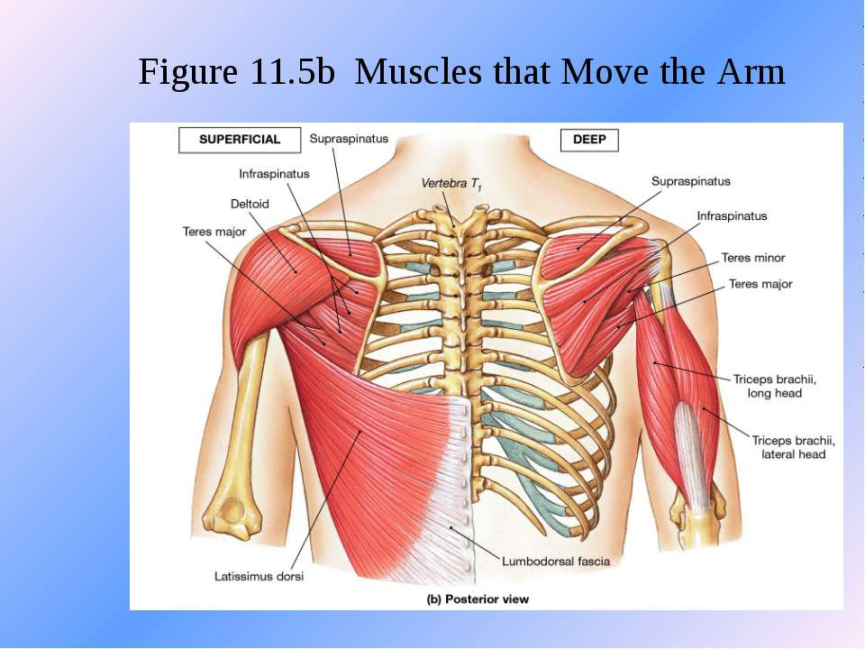 Figure 11.5b Muscles that Move the Arm