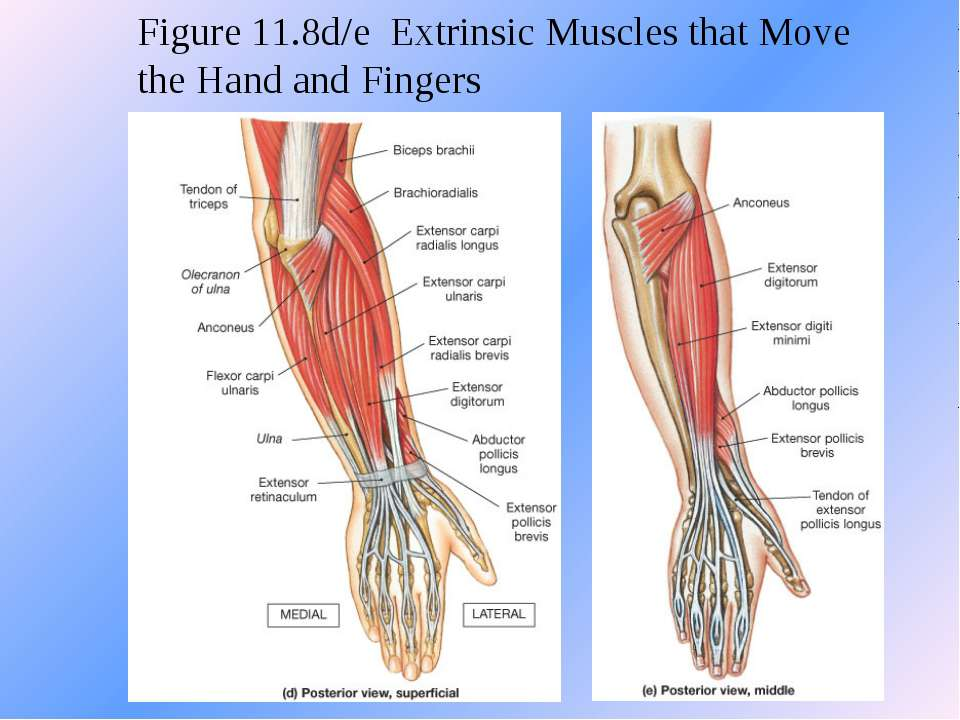 Figure 11.8d/e Extrinsic Muscles that Move the Hand and Fingers