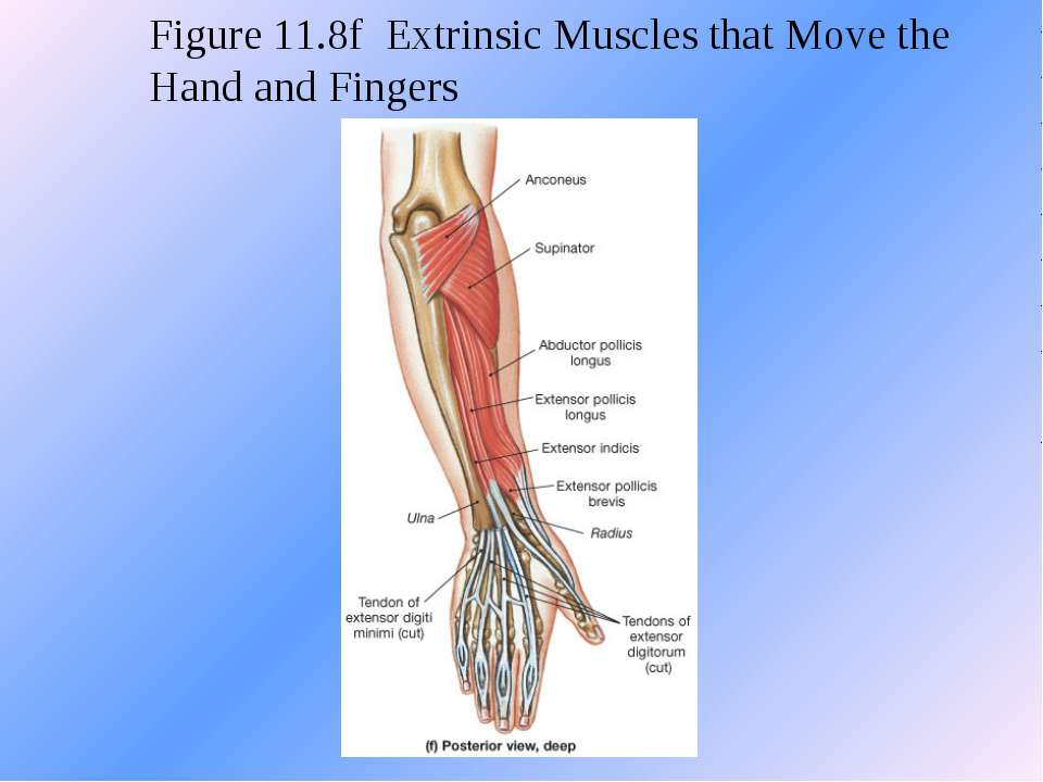 Figure 11.8f Extrinsic Muscles that Move the Hand and Fingers