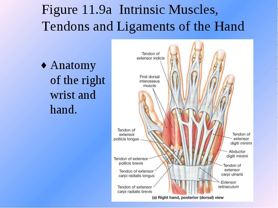 Figure 11.9a Intrinsic Muscles, Tendons and Ligaments of the Hand Anatomy of ...