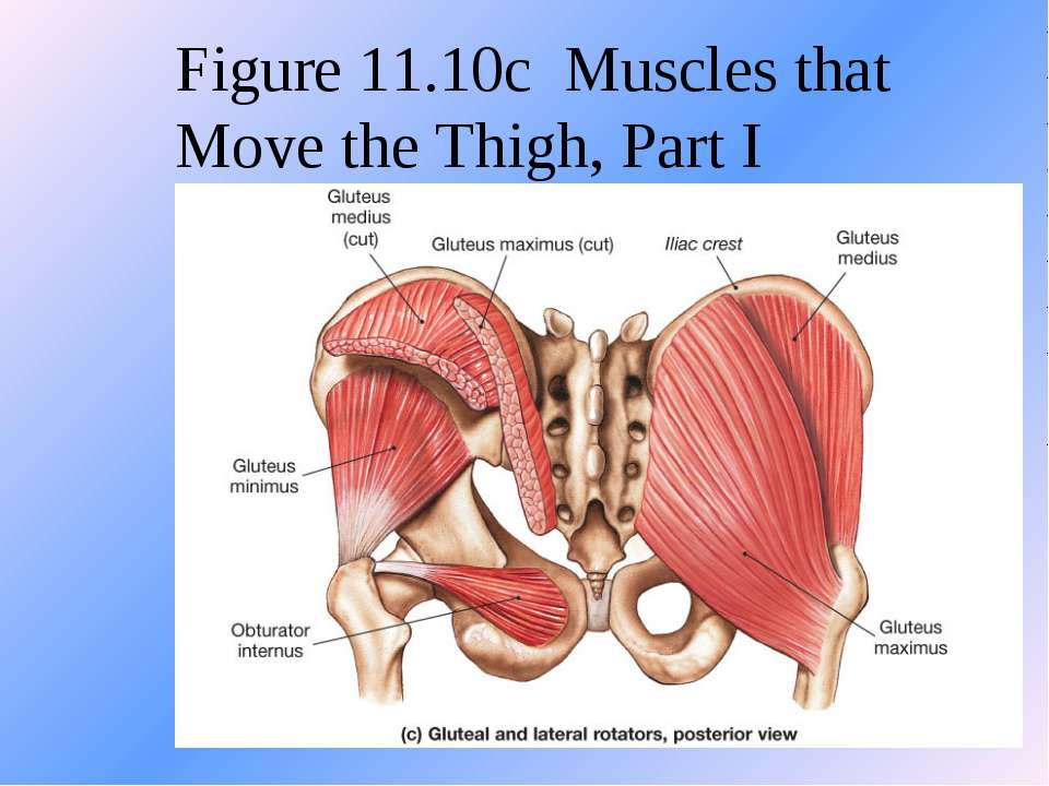 Figure 11.10c Muscles that Move the Thigh, Part I