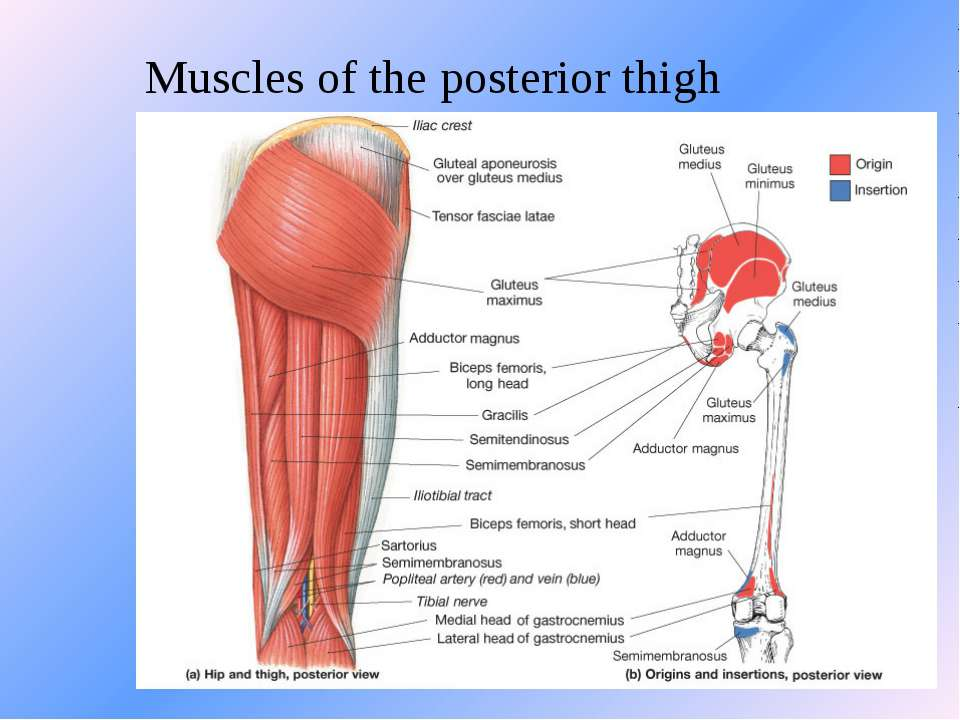 Muscles of the posterior thigh