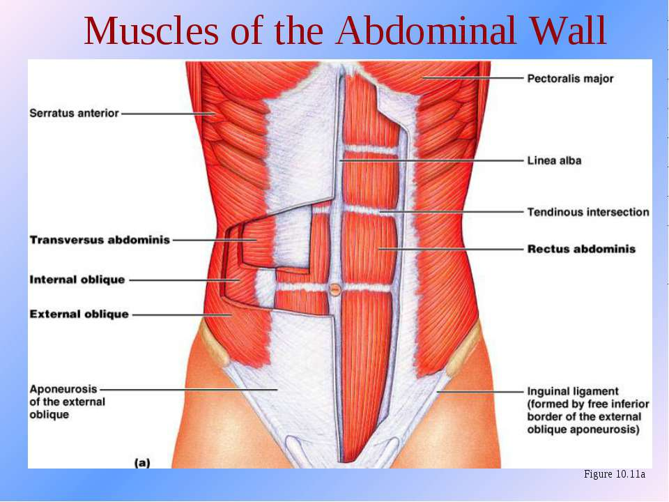 Muscles of the Abdominal Wall Figure 10.11a