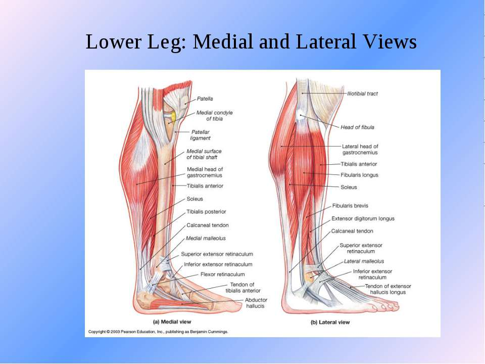 Lower Leg: Medial and Lateral Views