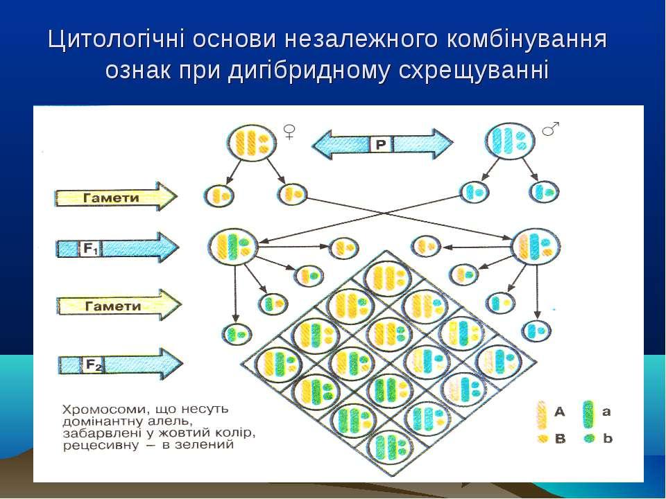 Цитологічні основи незалежного комбінування ознак при дигібридному схрещуванні .