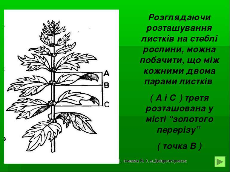 Розглядаючи розташування листків на стеблі рослини, можна побачити, що між ко...