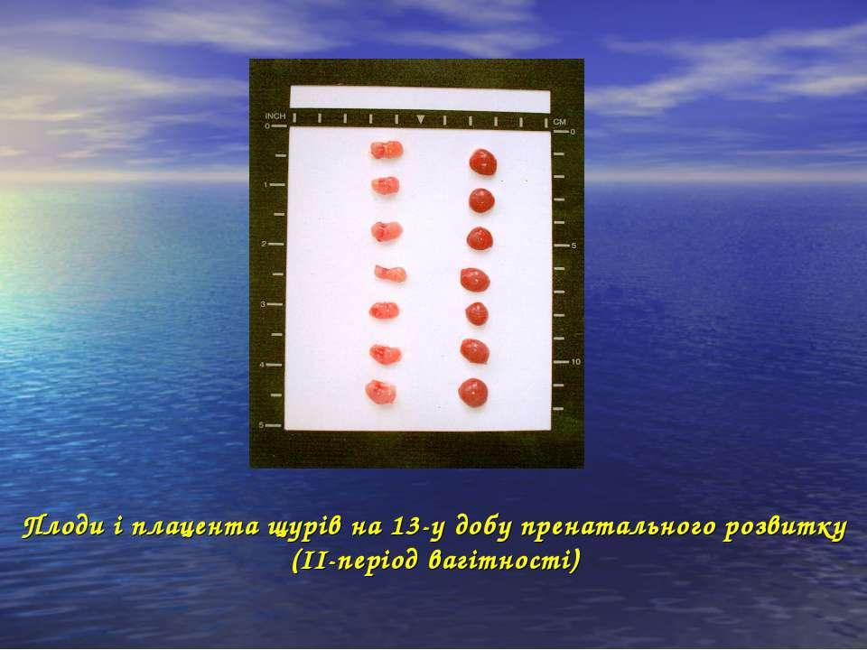 Плоди і плацента щурів на 13-у добу пренатального розвитку (ІІ-період вагітно...