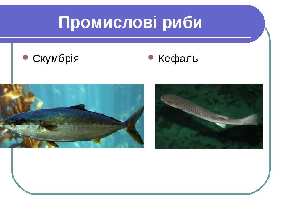 Промислові риби Скумбрія Кефаль