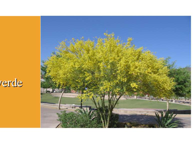 Tree Paloverde
