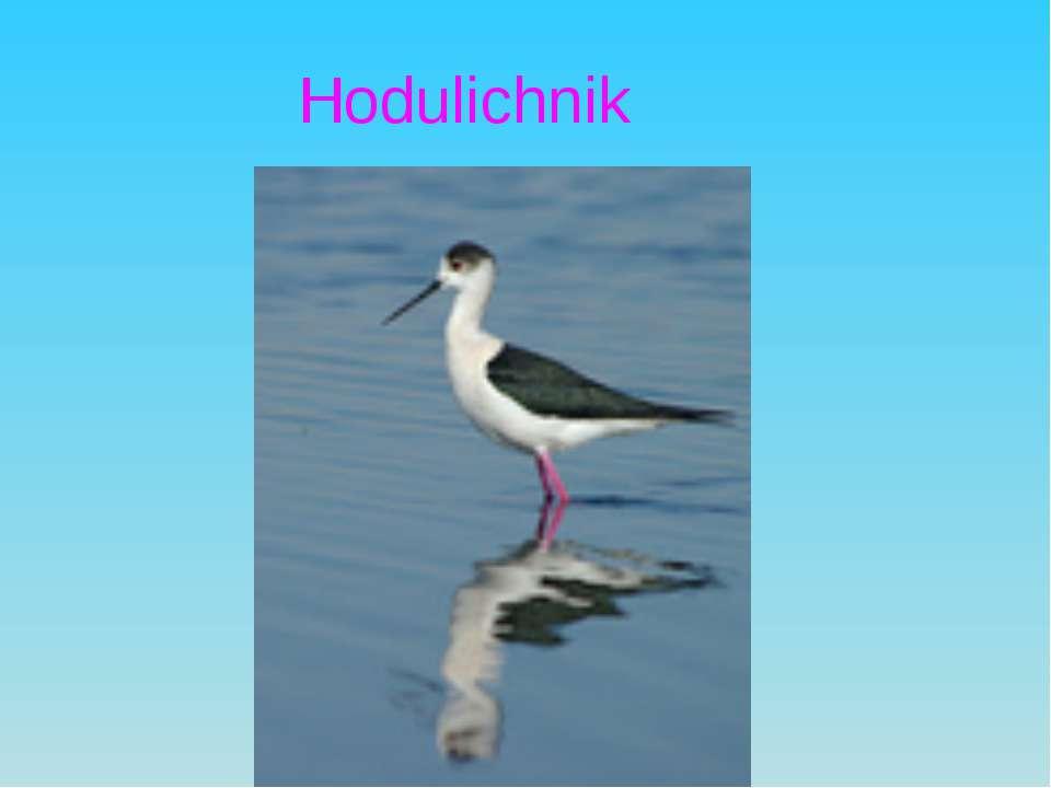 Hodulichnik