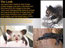 The Look Aye-ayes have a black or dark brown coarse shaggy coat with a few wh...