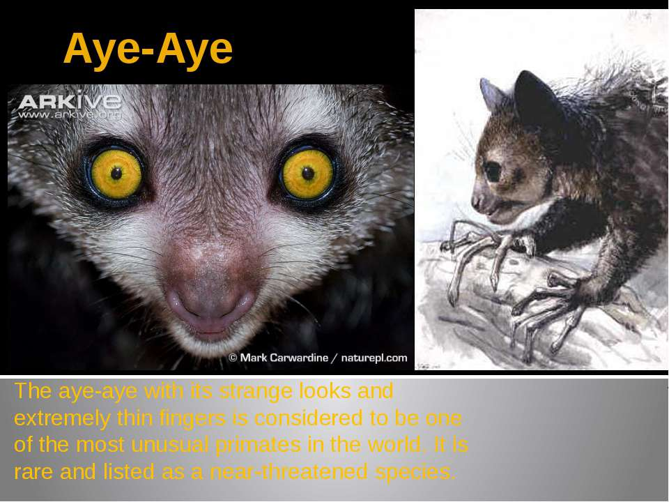 Aye-Aye The aye-aye with its strange looks and extremely thin fingers is cons...