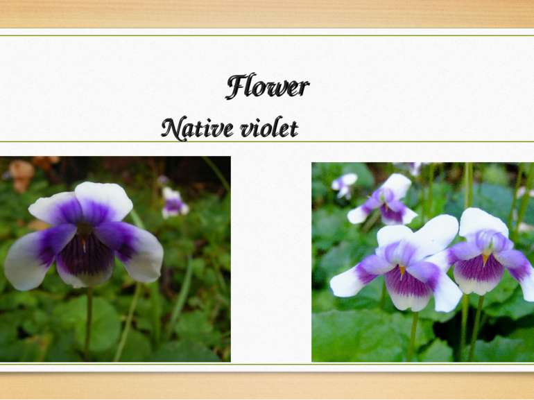Flower Native violet