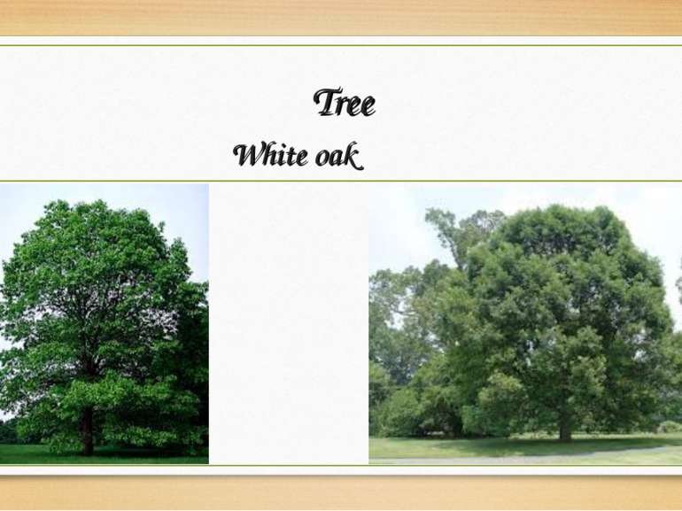 Tree White oak