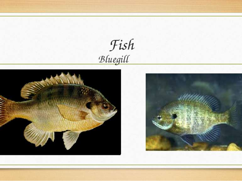 Fish Bluegill